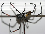 Nephila senegalensis